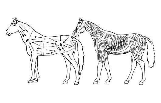 Muskulatur und Massagerichtungen beim Pferd
